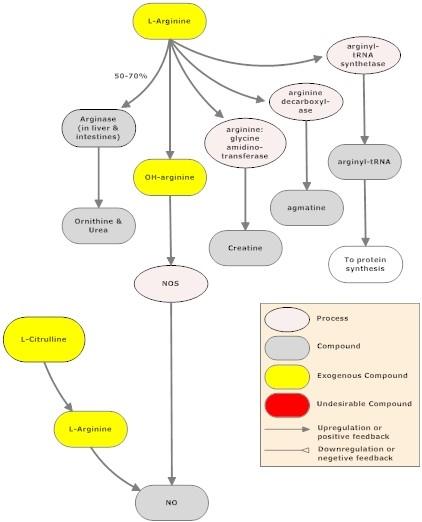 Citrulline and Arginine Pathway