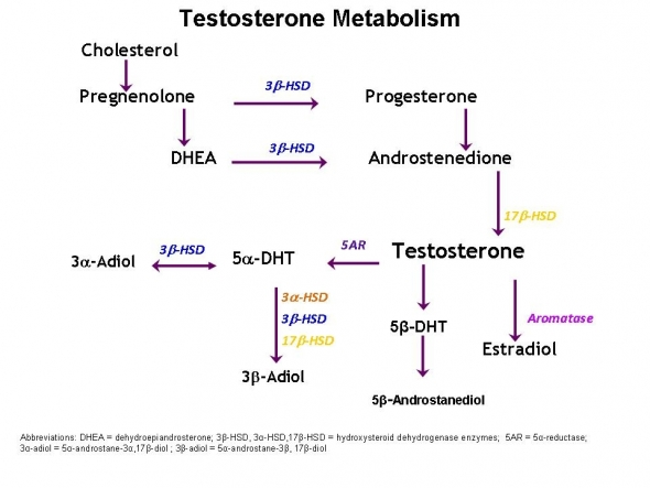 Testosterone Pathways